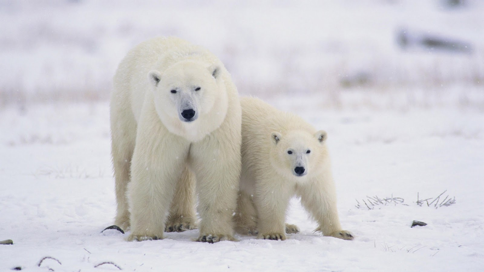 7 weird animal facts online entertainment and lifestyle magazine polar bears must eat two thirds of the food they need for the whole year during the three months of spring voltagebd Gallery